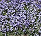 Rockcress Pale Blue Flower Seeds (Aubrieta Hybrida Graeca) (400)