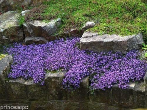 Perennial Vinca Vine 15 Live Plants evergreen ground cover (periwinkle, ()