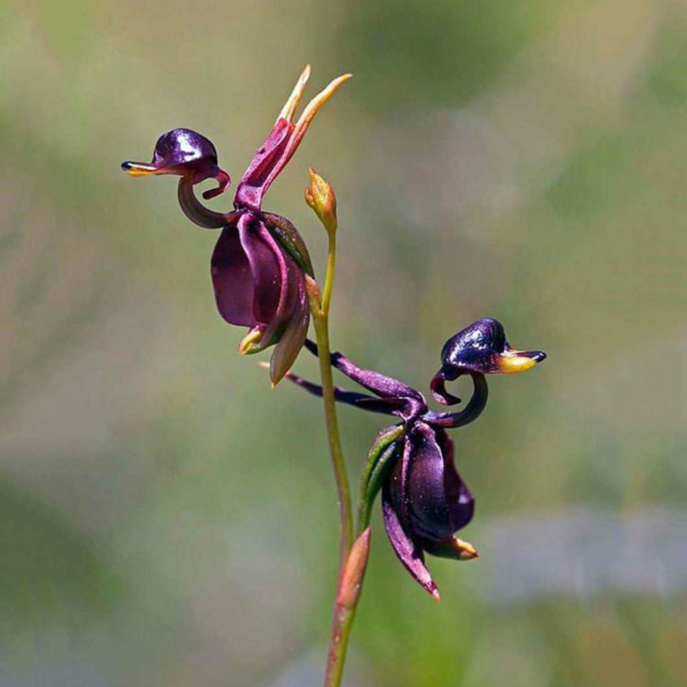 Dyyicun12 - 10 Semillas de orquídea de Pato Volador Raras para decoración de jardín, Semillas, Flying Duck Orchid Seeds