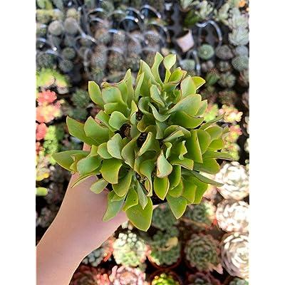 """AchmadAnam - Live Plant - 4"""" Crassula Arborescens SSP. Undulatifolia Ripple Jade. E12 : Garden & Outdoor"""