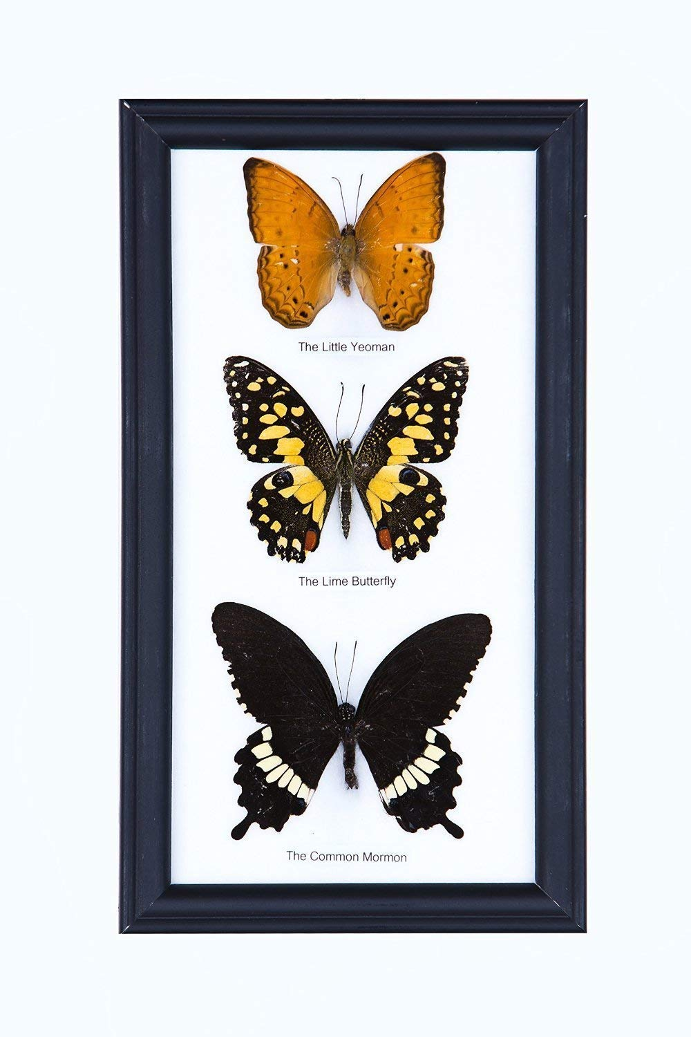 9 x 5 inches Assorted Species Real Butterfly Taxidermy Wall Decor Three Real Framed Butterflies | Every Display Frame is Unique!