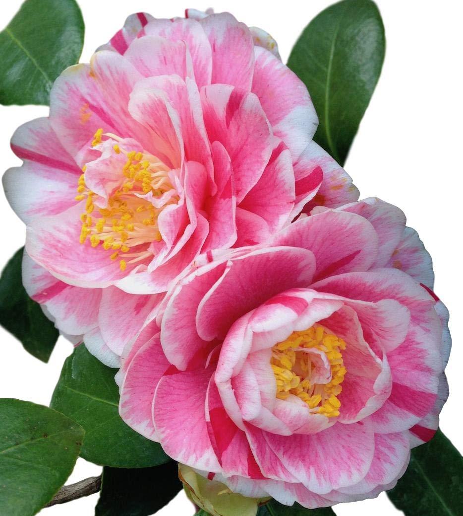 Jordans Pride Camellia Japonica - Live Plant - 4 Inch Pot