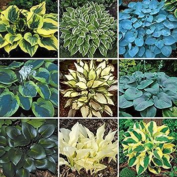 2018 Hot Sale Maslin 110pcspack Hosta Plants Seeds 21 Colors