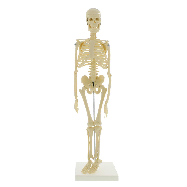 Monmed Medical Skeleton Model Small Skeleton Model Human Skeleton