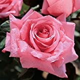 Jackson & Perkins Beautiful Dreamer Hybrid Tea Rose