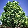 100 Green Ash Tree Seeds, Fraxinus Pennsylvanica,- Limits