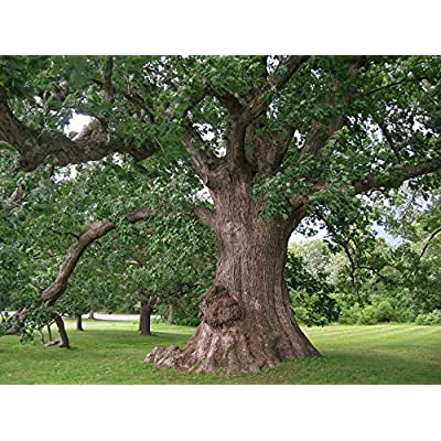 AchmadAnam - Live Plant - 2 White Oak Trees! 1 to 2 ft Tall.Live Tree, Gardening Shade Tree, Landscape Tree, Wildlife & Deer Love These!. E18 : Garden & Outdoor