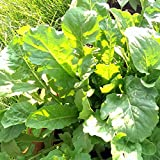 Arugula Garden Seeds - 25 Lbs Bulk Seed - Non-GMO Lettuce Greens - Arugula for Microgreens and Herb Salads