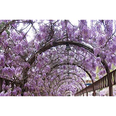 New Blue Chinese Wisteria, Wisteria sinensis, Vine 4 Seeds (Fast, Showy, Fragrant) : Garden & Outdoor