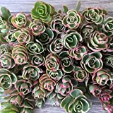 succulent ground cover Cal Summer Garden 50+ Sedum Spurium Tricolor Unrooted Cuttings Fast to Root Ground Cover Stonecrop Succulents