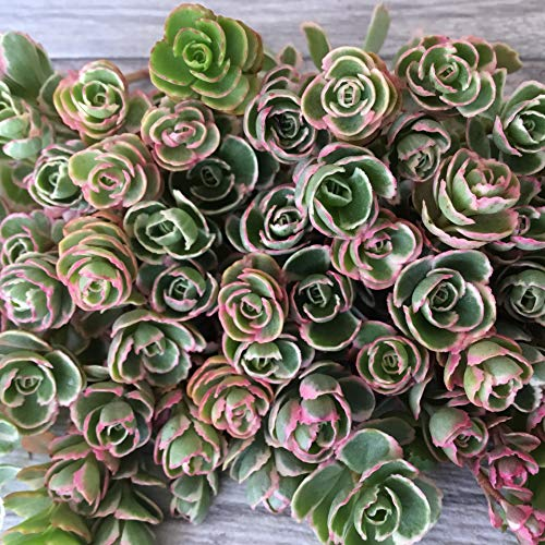 Cal Summer Garden 50+ Sedum Spurium Tricolor Unrooted Cuttings Fast to Root Ground Cover Stonecrop Succulents