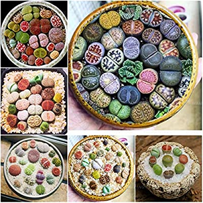 100 Pcs Beauty Mixed Mini Lithops Bonsai Plants Cactus Bonsai Plants Organic Garden Succulent Bonsai Balcony Flower Planting - (Color: Plum) : Garden & Outdoor