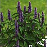 Anise Hyssop (Agastache foeniculum) Herbal Plant Heirloom, 1050-1200 Seeds
