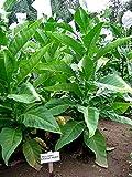 Bolivian Criollo Black Tobacco ~100 seeds