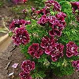 Geranium Flowers Seeds Perennial Bonsai Plants Seeds Pelargonium Graveolens potted for home and garden 30PCS 8