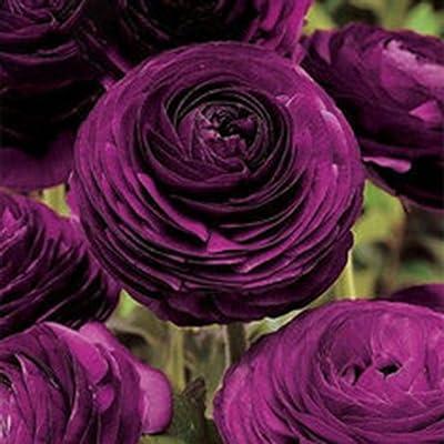 Elever 50pcs Persian Buttercup Seeds Ranunculus Asiaticus Flower Seeds Home Garden Flowers : Garden & Outdoor