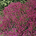 Outsidepride Dianthus - Maiden Pink