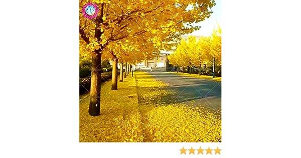 Otoño las hojas amarillas 5 pcs semillas de Ginkgo gingko biloba ...