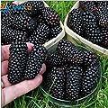 Prime Time! 100 nutritious Pre-Stratified Jumbo Thornless Blackberry Seeds juicy sweet healthy fruit DIY Home Garden Fruit Seeds of hope