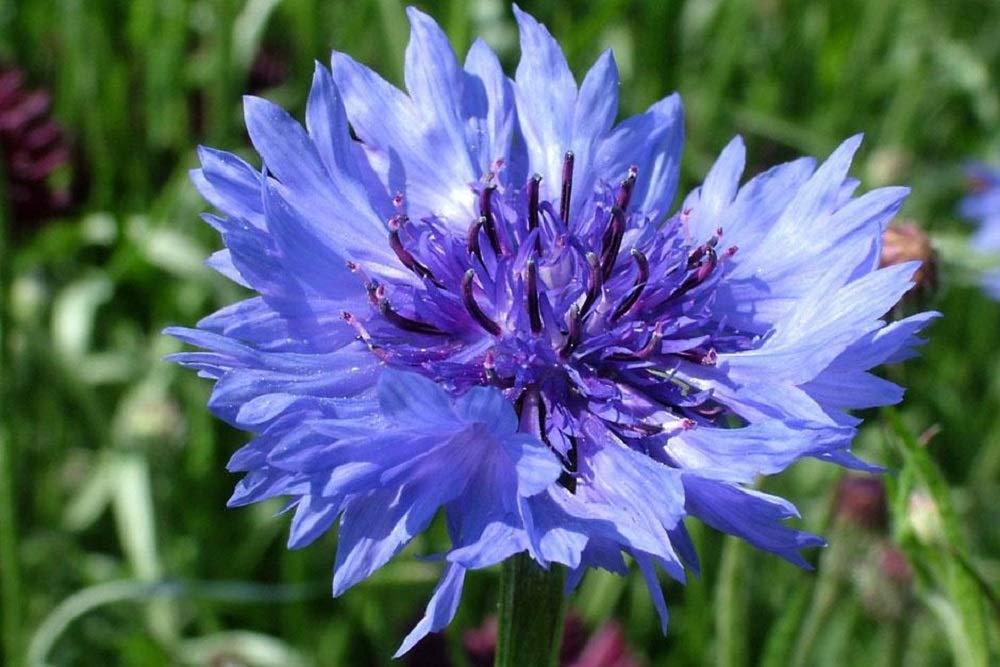 Cornflower - Centaurea Cyanus - Wildflower 400 Seeds Meadows Pretty Wild Seeds