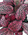 "Red Veined Nerve Plant - Fittonia - Easy House Plant - 4"" Pot"