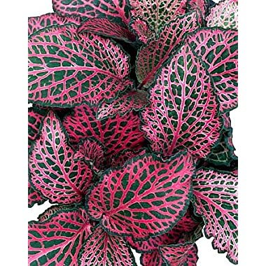 Red Veined Nerve Plant - Fittonia - Easy House Plant - 4  Pot