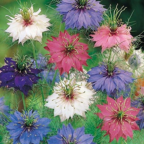 Love Mist - Love-In-A-Mist- Persian Jewel- 100 Seeds