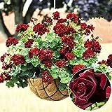 Braceus 20 Pcs Rare Geranium Flowers Seeds Rose Pelargonium Plant Perennial Decoration