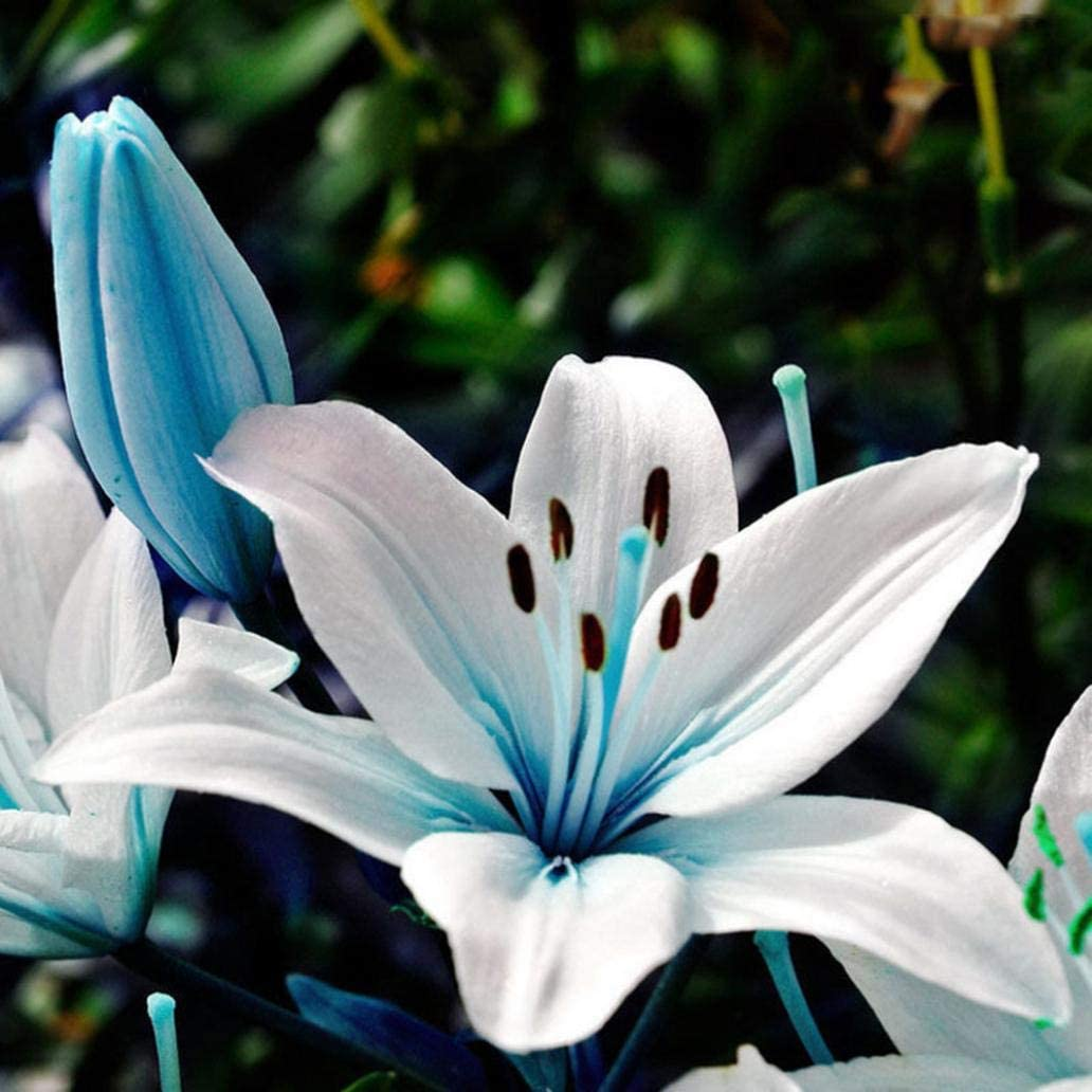 Uticon Semillas 50pcs N¨²Cleo Azul Lily Balc¨®N Planta De Lilium Fragante Flor De Bonsai Decor - 50pcs Lily Semillas