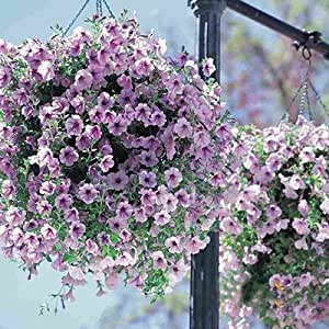 Hanging Petunia Seeds Balcony Potted Trailing Petunia Flower Seeds Petunia Multicolor 200 pcs