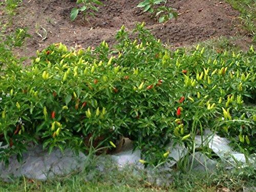 Pepper Hybrid Hot (Super Chili Hybrid Hot Pepper Seeds - Capsicum Annuum - 0.2 Grams - Approx 35 Gardening Seeds - Vegetable Garden Seed)