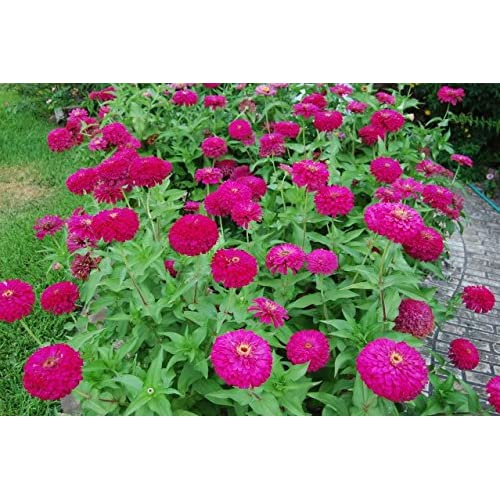 30 Uproar Rose Zinnia Seeds - My Secret Gardens