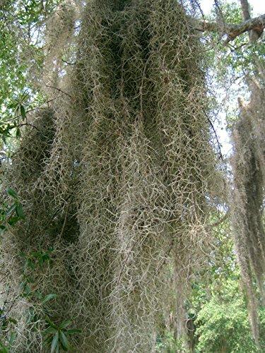 Organic Live Spanish Moss 10 lbs by Energi8