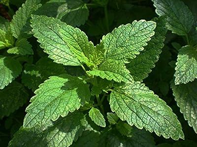 300 Lemon Balm Seeds - Common Balm, Balm Mint, Bee Balm - Melissa Officinalis by RDR Seeds