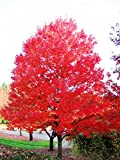 Red Maple Tree - Live Plant - Shipped 3-4 Feet Tall (No California)