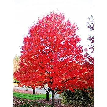 Amazoncom Red Maple Tree Live Plants Shipped 2 To 3 Feet Tall
