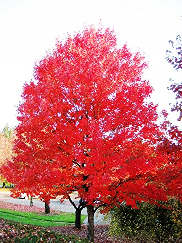 (Red Maple Tree - Live Plants Shipped 2 Feet Tall by DAS Farms (No California))