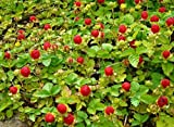 Indian Strawberry Seeds a.K.a Mock Strawberry,Gurbir,or False Strawberry,(Duchesnea Indica Tuttifrutti) (1000 Seeds-Bulk) by AchmadAnam