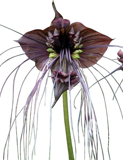 Schwarze Fledermausblume Black Bat Flower Tacca Chantrieri 10 Samen Teufelsblume Amazon De Garten