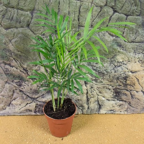 myBageecha - Parlor Palm Live Plant Indoor Outdoor Air Purifier...