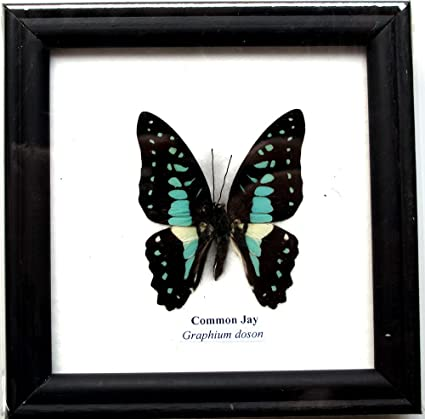 Lucklovely Rare Real Beautiful Butterfly Insect Taxidermy Framed Mounted in Black Display