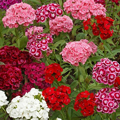 Outsidepride Dianthus Sweet William Flower Seed Plant Mix - 5000 Seeds -