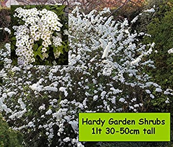 Garden shrub plants spiraea arguta bridal wreath white spring garden shrub plants spiraea arguta bridal wreath white spring flowering hardy outdoor garden bush mightylinksfo