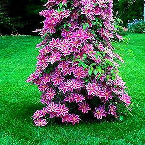 wewa98698 100Pcs Clematis Climbing Vine Seeds Flower Plant Home Office Ornament Decoration - Pink