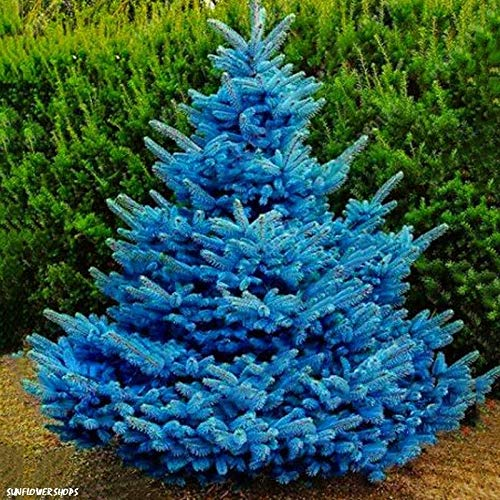 ASTONISH Seeds Package: Colorado Sky Blue Spruce Picea Pungens Glauca Tree Seeds - 100 ()