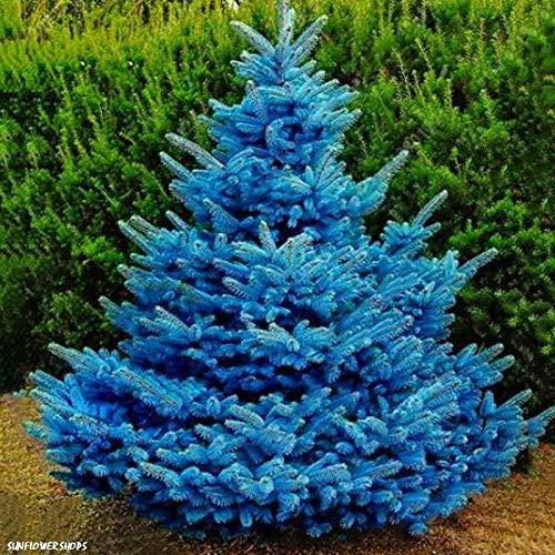 ASTONISH Seeds Package: Colorado Sky Blue Spruce Picea Pungens Glauca Tree Seeds - 100 Seeds