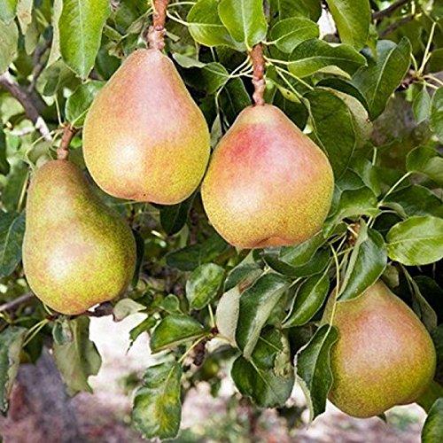 Seckel Pears - 1 Bareroot of Seckel Dwarf Pear