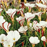 Van Zyverden Oxalis Versicolor Set of 5 Bulbs