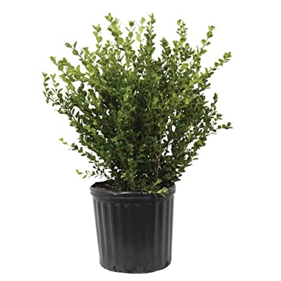 Plants by Mail 3 (2.4 Gal) Wintergreen Boxwood, 2.4 Gallon, Green Fine Textured Shrub : Garden & Outdoor