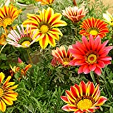 50 Colorful Gazania Seeds Gazania Garden Plant Flowers Seeds Beautiful